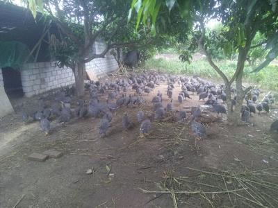 海南昌江银斑珍珠鸡 2-4斤