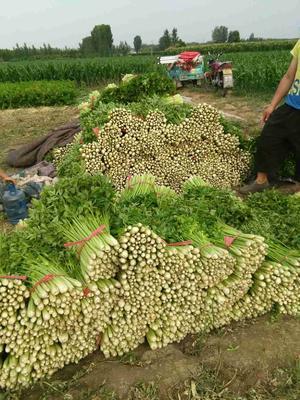 山东省淄博市桓台县美国文图拉芹菜 55~60cm 露天种植 0.5斤以下