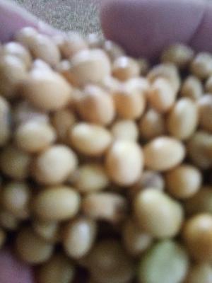河南周口黄黄豆 生大豆 编织袋包装 1等品
