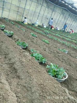 这是一张关于菠萝草莓苗 地栽苗 20~30公分的产品图片