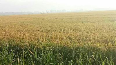 这是一张关于辽星大米  非有机大米 一等品 晚稻的产品图片