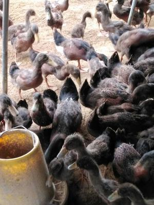 江西赣州青头麻鸭 3-4斤 公