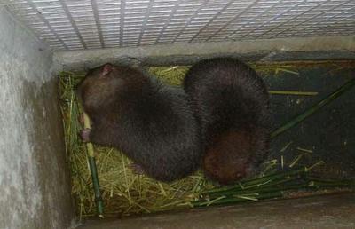 贵州安顺商品竹鼠 2-4斤