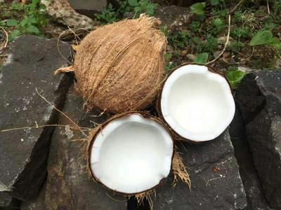 海南万宁高种椰子 1.5 - 2斤