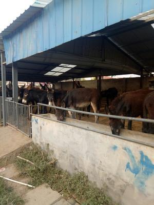 山东菏泽德州驴 100-200斤