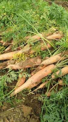 山西省忻州市忻府区长红胡萝卜 15cm以上 3两以上 3~4cm