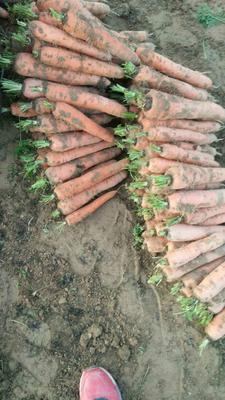 甘肃定西贝提茂胡萝卜 3~4cm 10~15cm 3两以上