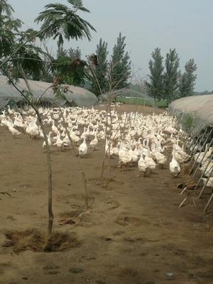 这是一张关于海鸭蛋 散装 食用 土泥巴咸鸭蛋的产品图片