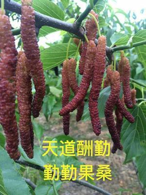 长果桑苗 包种植指导 易成活 青苗