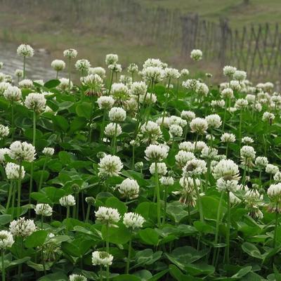 江苏宿迁白三叶 进口白三叶种子,纯净子,非包衣,发芽率高