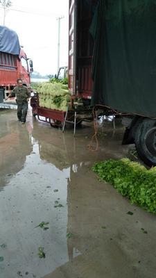 江苏徐州美国文图拉芹菜 55~60cm 0.5斤以下