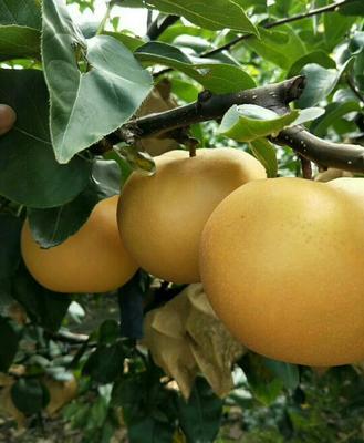 这是一张关于秋月梨树苗 1~1.5米的产品图片