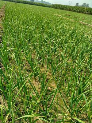 河南许昌红根蒜苗 40 - 45cm