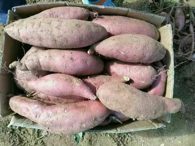 山东临沂龙薯九号 3两以上 黄皮 红薯