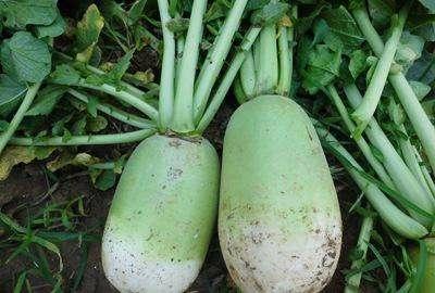 这是一张关于青皮萝卜 1.5~2斤的产品图片