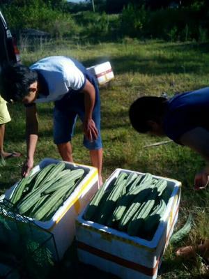 海南海口中绿丝瓜 25cm以上