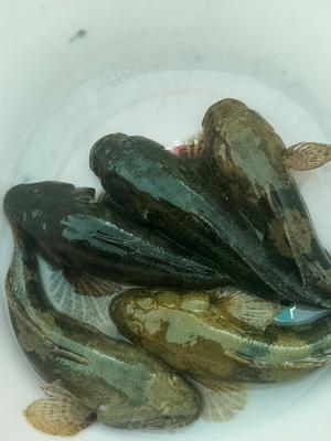 浙江省杭州市江干区沙塘鳢 野生 0.5公斤以下