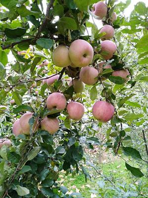 甘肃省陇南市礼县红富士苹果 光果 条红 60mm以上
