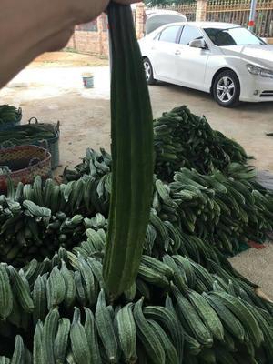 广西北海棱丝瓜 30cm以上