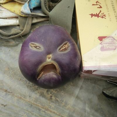 山东聊城紫光圆茄 2两以上