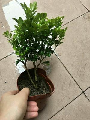 广东湛江米兰 带盆栽好
