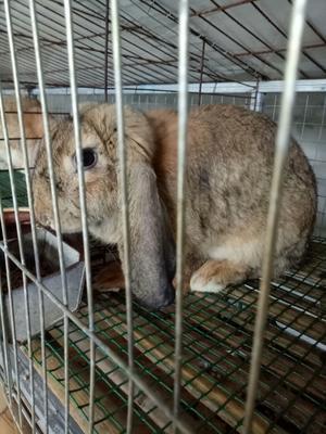 这是一张关于公羊兔 5斤以上 纯种公羊种兔,量大批发优惠!的产品图片