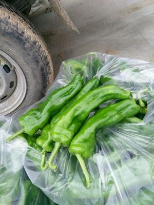 这是一张关于301辣椒 15~20cm 中辣的产品图片