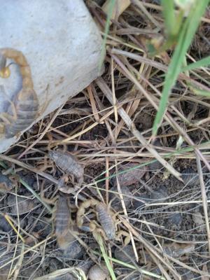 安徽亳州东亚钳蝎 大棚蝎子养殖 蝎子有毒吗 蝎子销售市场