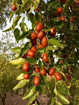 陕西榆林陕北大枣 特级 红枣源于陕北土特产,天然绿色,营养价值极