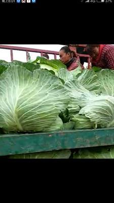 河南开封绿甘蓝 2.0~2.5斤