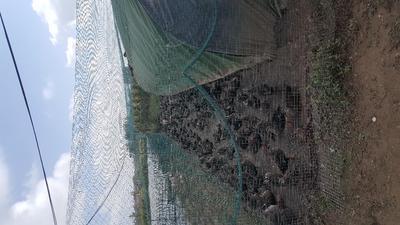 江苏盐城斑嘴鸭