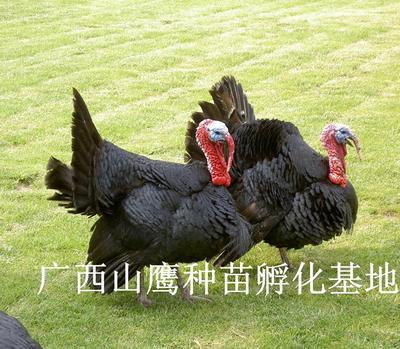 广西南宁火鸡苗