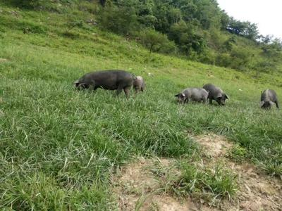 湖北恩施土黑土猪 160-200斤