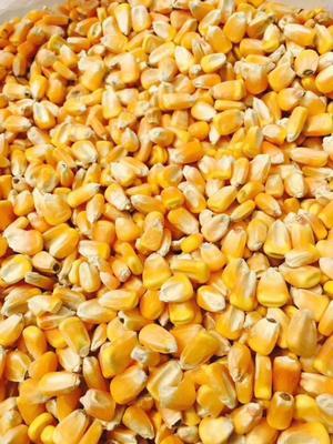 吉林四平玉米湿粮 净货 霉变≤1%