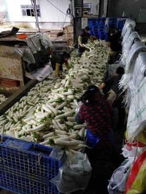 湖北宜昌白萝卜 1~1.5斤