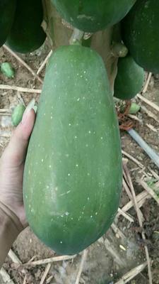 广西崇左大白木瓜 2.5 - 3斤