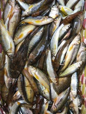 广西桂林野生干鱼 6-12个月