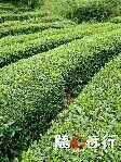 湖北襄樊绿茶 礼盒装