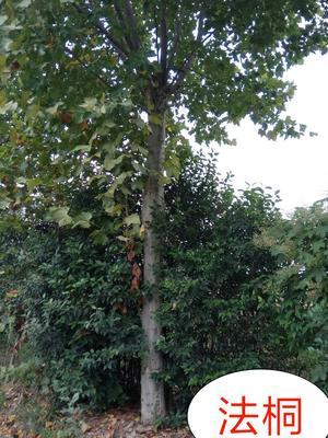 陕西宝鸡法桐树