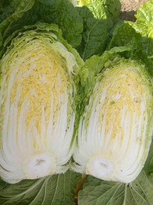 黑龙江哈尔滨黄心大白菜 3~6斤 二毛菜