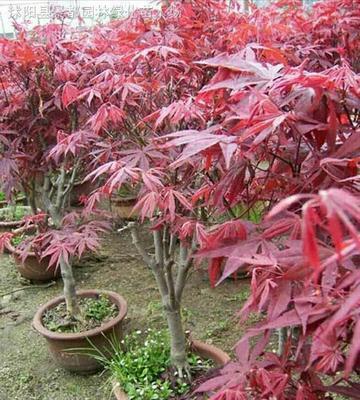 山东泰安美国红枫 红枫树苗 红枫苗