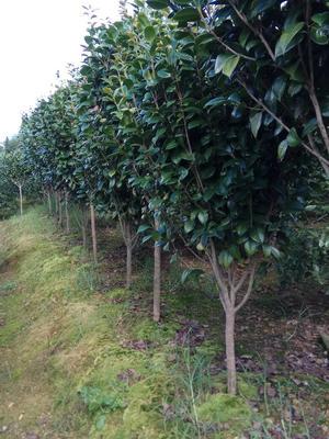 广西桂林茶花树 140cm以上