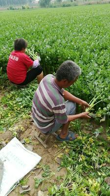 山东省滨州市惠民县加州王芹菜 60cm以上 0.5~1.0斤