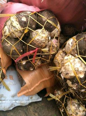 福建南平槟榔芋 6cm以上