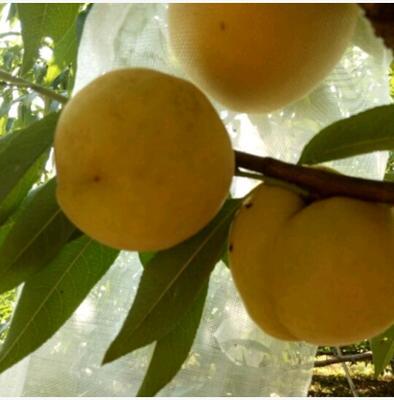 黄金蜜4号苗 1~1.5米