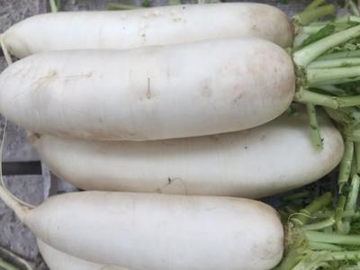 四川省成都市双流县韩国白雪萝卜 2~2.5斤
