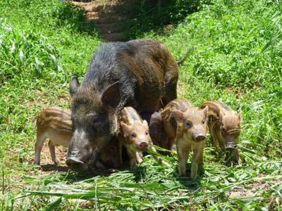 山东济宁特种野猪 统货 20-30斤