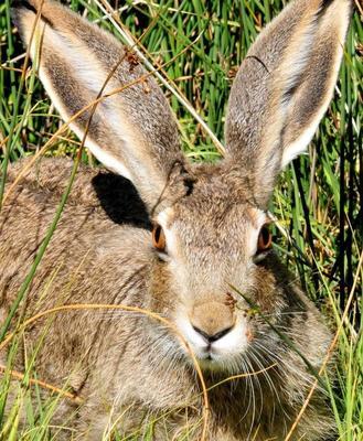 这是一张关于山地野兔 3-5斤的产品图片