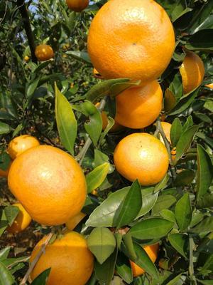 这是一张关于国庆一号 6 - 6.5cm 3两以上 精品蜜桔的产品图片