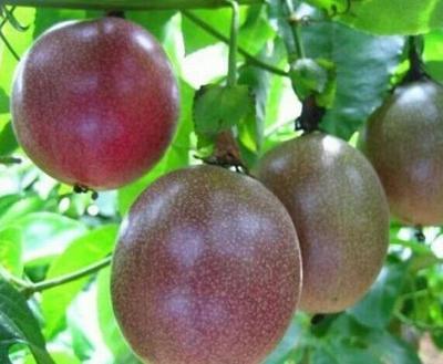 广西玉林紫红色百香果 60 - 70克 紫红果